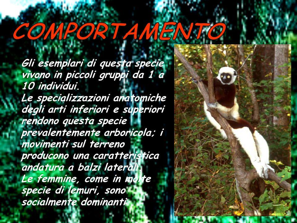 Il sifaka di Verreaux è un lemure della famiglia degli Indriidae. Di media taglia, la pelliccia è folta e setosa, di colorazione bianca con strisce sc