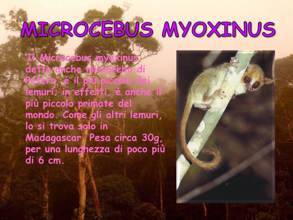 Gli esemplari di questa specie vivono in piccoli gruppi da 1 a 10 individui. Le specializzazioni anatomiche degli arti inferiori e superiori rendono q