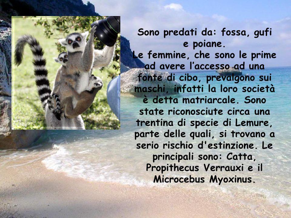 Si dividono in Lemuri notturni e diurni in base alla differenza delle abitudini. In generale i lemuri più piccoli sono notturni mentre i più grandi di