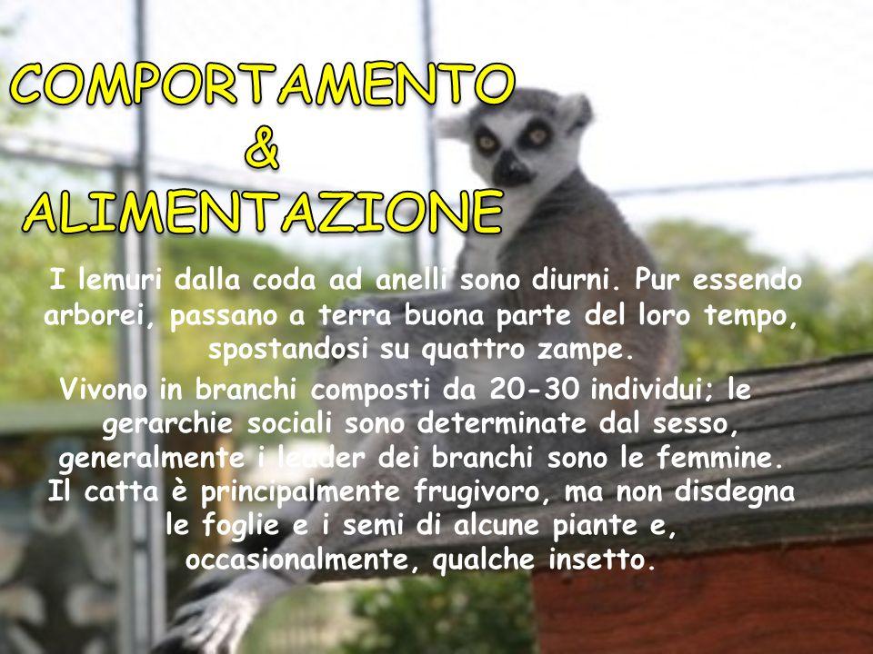 Il lemure catta è di dimensioni relativamente grandi. La pelliccia del catta è principalmente grigia; sono bianchi il ventre, il torace, il collo, le