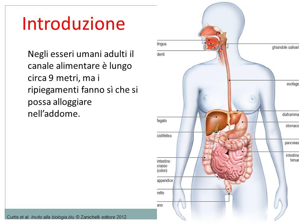 4.Assorbimento e metabolismo 26 1.Specificità: ogni enzima catalizza (cioè orienta e accelera) una determinata reazione che coinvolge specifici substrati e dà origine a specifici prodotti.