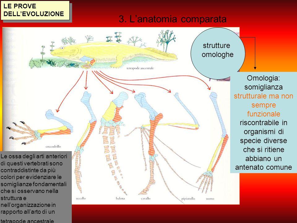 LE PROVE DELL'EVOLUZIONE 3. L'anatomia comparata strutture omologhe Le ossa degli arti anteriori di questi vertebrati sono contraddistinte da più colo