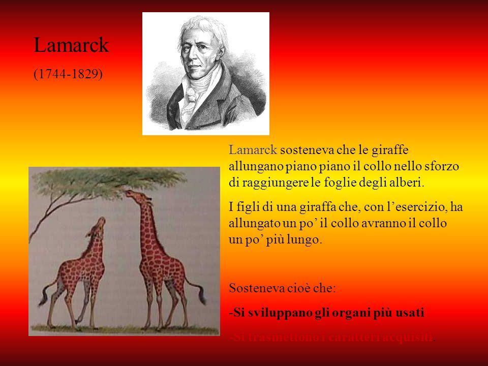 Lamarck (1744-1829) Lamarck sosteneva che le giraffe allungano piano piano il collo nello sforzo di raggiungere le foglie degli alberi. I figli di una