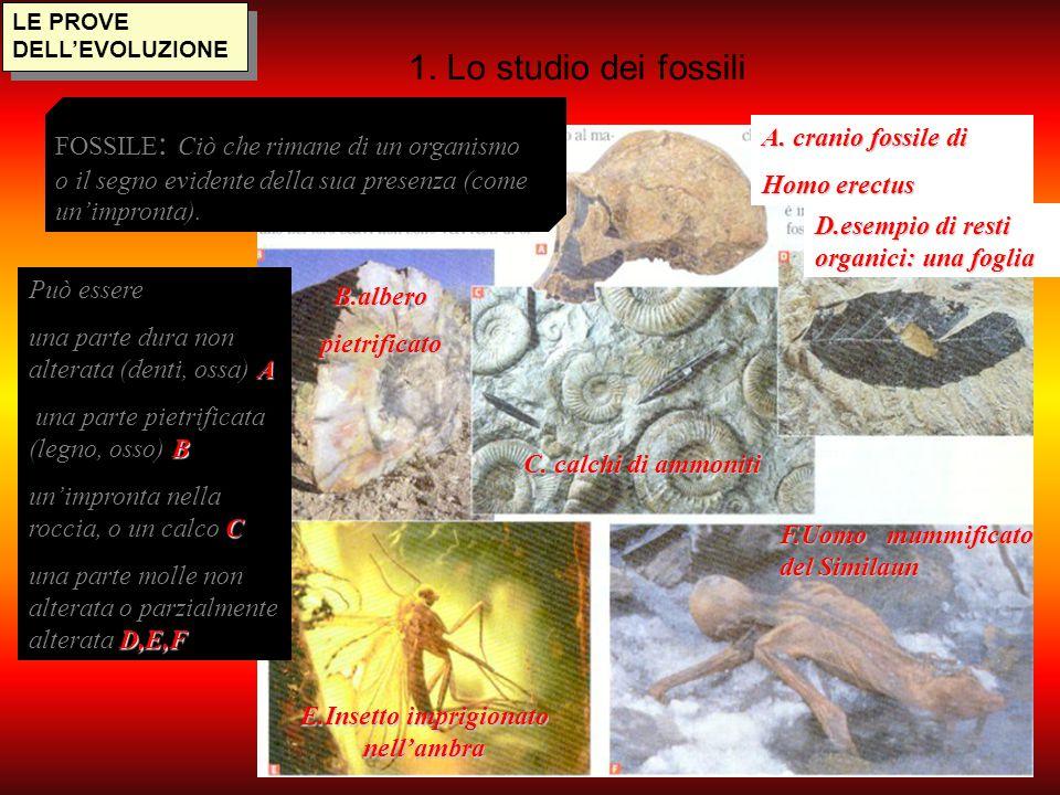 1. Lo studio dei fossili LE PROVE DELL'EVOLUZIONE Può essere A una parte dura non alterata (denti, ossa) A B una parte pietrificata (legno, osso) B C