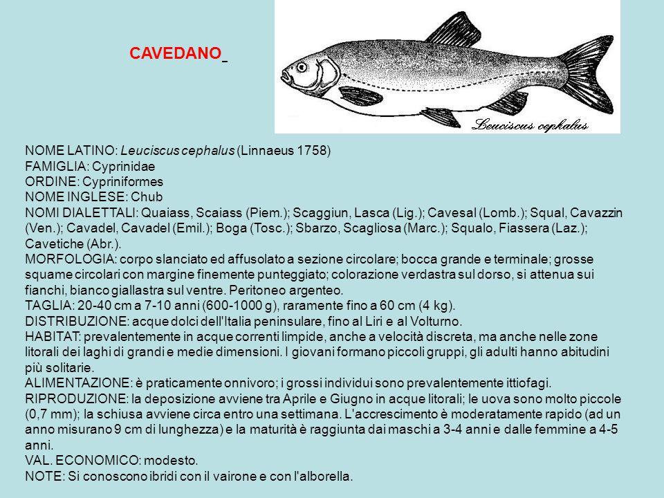 NOME LATINO: Cobitis taenia (Linnaeus 1758) FAMIGLIA: Cobitidae ORDINE: Cypriniformes NOME INGLESE: Spined loach NOMI DIALETTALI: Strassa sac (Piem.); Cagnala, Usela, Sghirla (Lomb.);Cagnetta, Sgheta (Emil.); Taiacozz, Mulnaren (Romag.); Forasass, Cagneta (Ven.); Foraguada (Tren.) MORFOLOGIA: corpo allungato, anteriormente cilindrico e compresso lateralmente nella parte posteriore; testa piccola e bocca inferiore, munita di sei barbigli; squame molto piccole; presenza sotto gli occhi di una piccola spina erigibile; colorazione giallastra con piccole macchie brune sul capo e sul dorso.