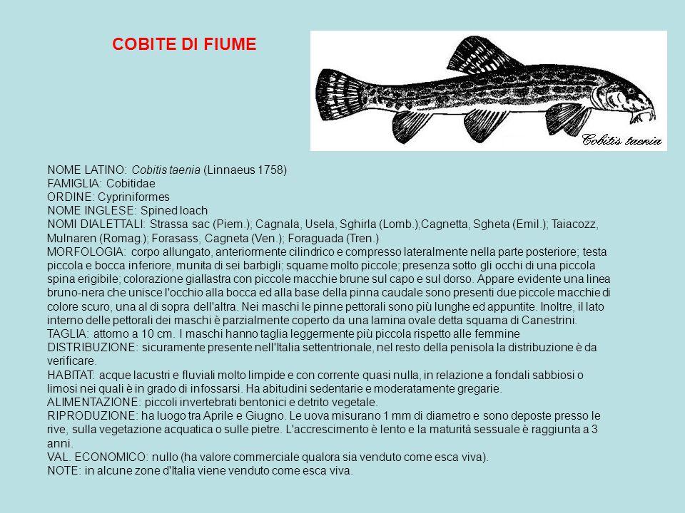 GAMBUSIA NOME LATINO: Gambusia affinis (Baird & Girard 1853) FAMIGLIA: Poeciliidae ORDINE: Cyprinodontiformes NOME INGLESE: Top, minnow MORFOLOGIA: marcato dimorfismo sessuale; femmina di maggiori dimensioni con ventre assai pronunciato; nel maschio la pinna anale è trasformata in organo copulatore (gonopodio); colorazione bruno grigiastra ed argentea sul ventre, striscia scura che attraversa l occhio.