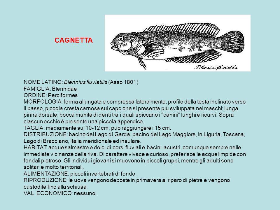 PERSICO SOLE NOME LATINO: Lepomis gibbosus (Linnaeus 1758) FAMIGLIA: Centrarchidae ORDINE: Perciformes NOME INGLESE: Pumpkinseed NOMI DIALETTALI: Orelogin, Gob (Lomb.) MORFOLOGIA: forma del corpo tondeggiante e molto compressa lateralmente; testa grande con bocca terminale piccola; pinna dorsale unica con raggi anteriori spinosi; colorazione verde-azzurra con riflessi metallici; vistosa macchia rossa e nera al margine dell opercolo branchiale; linee azzurre ai lati del capo e sugli opercoli; la femmina ha colorazione meno vivace.