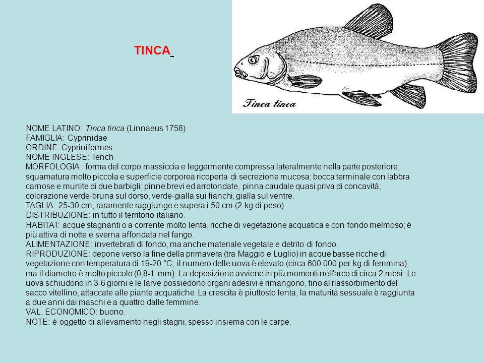 NOME LATINO: Esox lucius (Linnaeus 1758) FAMIGLIA: Esocidae ORDINE: Salmoniformes NOME INGLESE: Pike NOMI DIALETTALI: Luss (Piem.