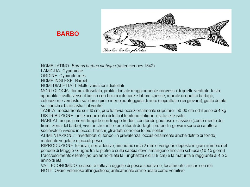 CARASSIO Dorato (Pesce rosso) NOME LATINO: Carassius auratus (Linnaeus 1758) FAMIGLIA: Cyprinidae ORDINE: Cypriniformes NOME INGLESE: Goldfish MORFOLOGIA: Differisce dal carassio comune per la sagoma più slanciata.