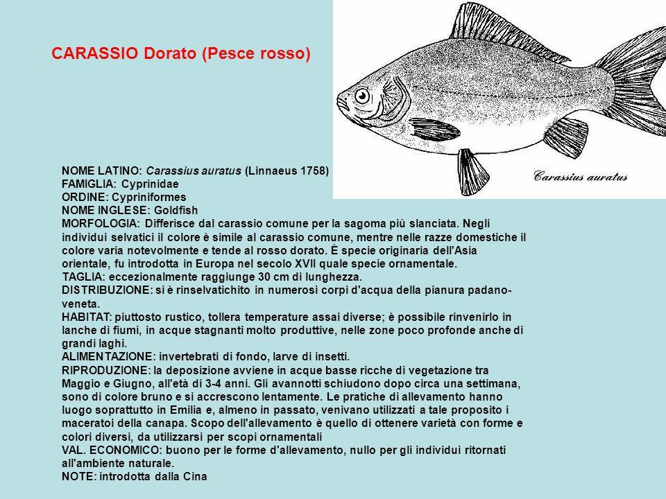 NOME LATINO Rutilus rubilio (Bonaparte 1837) FAMIGLIA: Cyprinidae ORDINE: Cypriniformes NOMI DIALETTALI: Triott, Vairon, Stria (Piem.); Trul, Triot, Strec (Lomb.); Pess zentil, Pessata, Faion (Trent.); Brussola, Aola bastarda, Brussolo (Ven.); Roviglione (Marc.); Lasca, Laschetta (Umb.); Rossella (Camp.) MORFOLOGIA: forma del corpo allungata con curvatura ventrale piuttosto accentuata; testa piccola e muso arrotondato con bocca terminale; colorazione bruno-verdastra sul dorso, bianca sul ventre, lungo i fianchi è presente una linea scura.