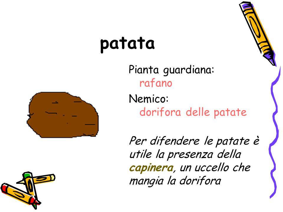 patata Pianta guardiana: rafano Nemico: dorifora delle patate Per difendere le patate è utile la presenza della capinera, un uccello che mangia la dor