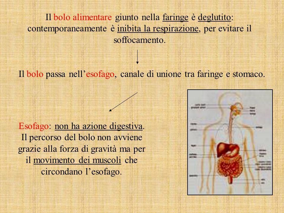 Esofago: non ha azione digestiva.