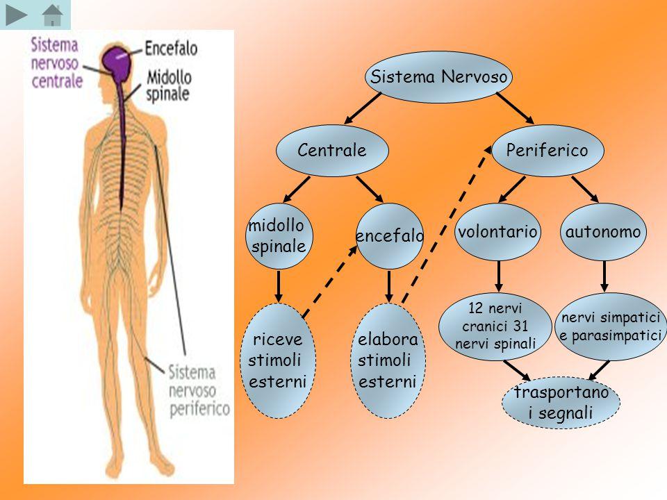Sistema Nervoso CentralePeriferico midollo spinale encefalo riceve stimoli esterni elabora stimoli esterni volontarioautonomo 12 nervi cranici 31 nerv