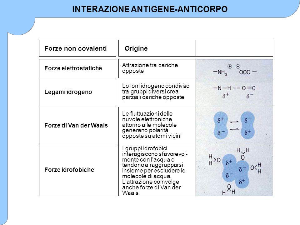 INTERAZIONE ANTIGENE-ANTICORPO Forze non covalenti Forze elettrostatiche Legami idrogeno Forze di Van der Waals Forze idrofobiche Origine Attrazione t