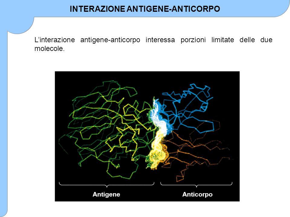 INTERAZIONE ANTIGENE-ANTICORPO L'interazione antigene-anticorpo interessa porzioni limitate delle due molecole. AntigeneAnticorpo