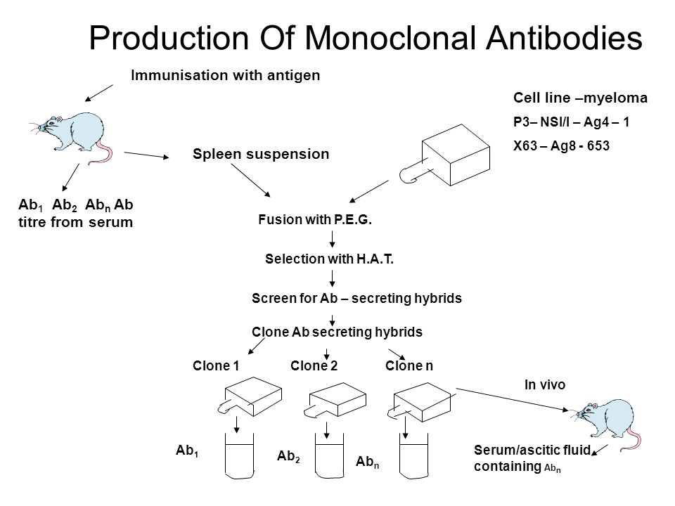 Production Of Monoclonal Antibodies Immunisation with antigen Cell line –myeloma P3– NSI/I – Ag4 – 1 X63 – Ag8 - 653 Ab 1 Ab 2 Ab n Ab titre from serum Spleen suspension Fusion with P.E.G.