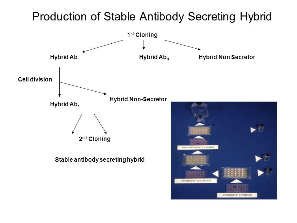 Production of Stable Antibody Secreting Hybrid 1 st Cloning Hybrid AbHybrid Ab n Hybrid Non Secretor Cell division Hybrid Ab 1 Hybrid Non-Secretor 2 n