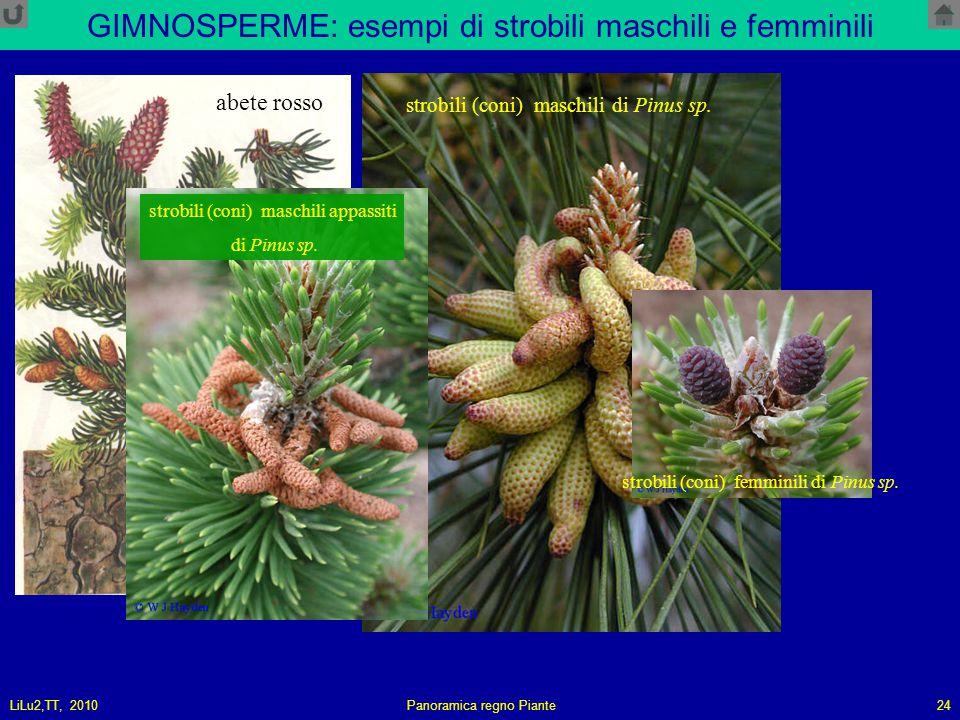 LiLu2,TT, 2010Panoramica regno Piante24 GIMNOSPERME: esempi di strobili maschili e femminili strobili (coni) maschili di Pinus sp.
