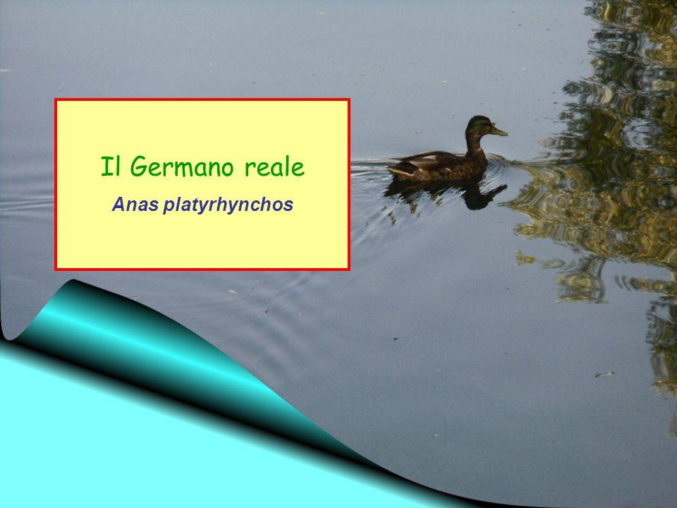 Ordine: Anseriformi Famiglia: Anatidi Il Germano reale è l'anatra più diffusa ed abbondante in Europa.