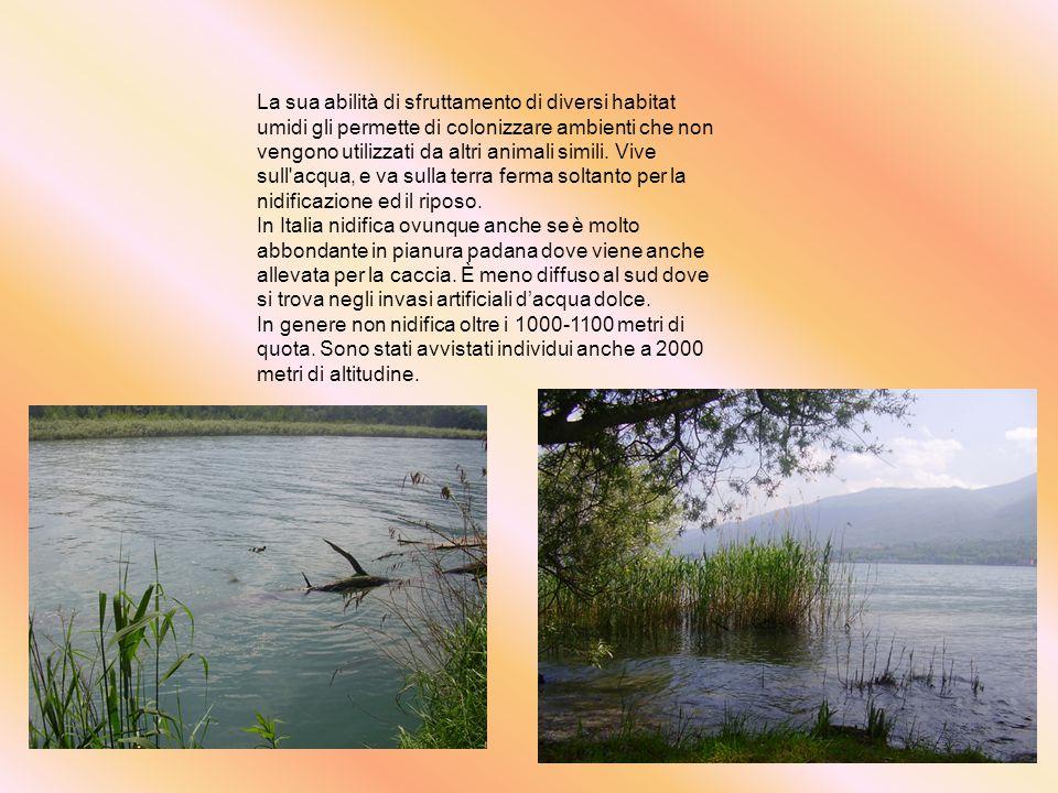In Piemonte si trova in tutta la pianura coltivata dove trova paludi, lanche di fiumi, margini di canali, risaie e stagni.