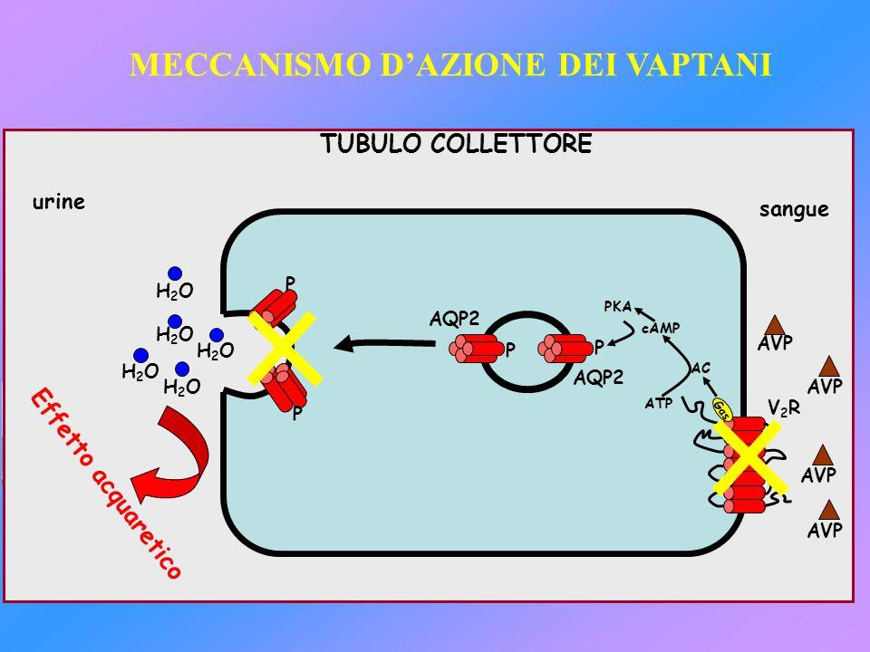H2OH2O H2OH2O H2OH2O H2OH2O H2OH2O V2RV2R AVP AQP2 TUBULO COLLETTORE AC cAMP ATP PKA GαsGαs MECCANISMO D'AZIONE DEI VAPTANI Effetto acquaretico urine