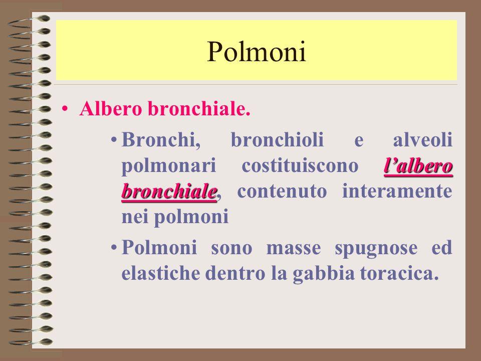 Polmoni Albero bronchiale. l'albero bronchialeBronchi, bronchioli e alveoli polmonari costituiscono l'albero bronchiale, contenuto interamente nei pol