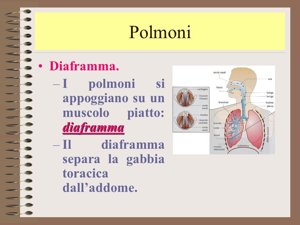 Polmoni Diaframma. diaframma –I polmoni si appoggiano su un muscolo piatto: diaframma –Il diaframma separa la gabbia toracica dall'addome.