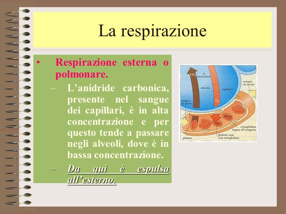La respirazione Respirazione esterna o polmonare. –L'anidride carbonica, presente nel sangue dei capillari, è in alta concentrazione e per questo tend