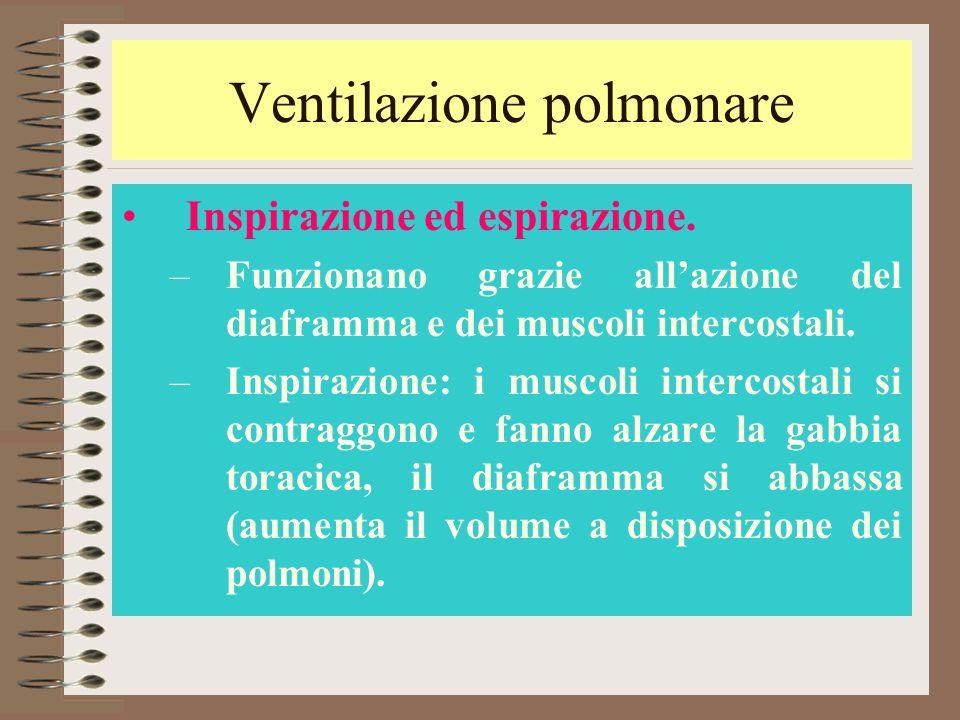 Ventilazione polmonare Inspirazione ed espirazione. –Funzionano grazie all'azione del diaframma e dei muscoli intercostali. –Inspirazione: i muscoli i
