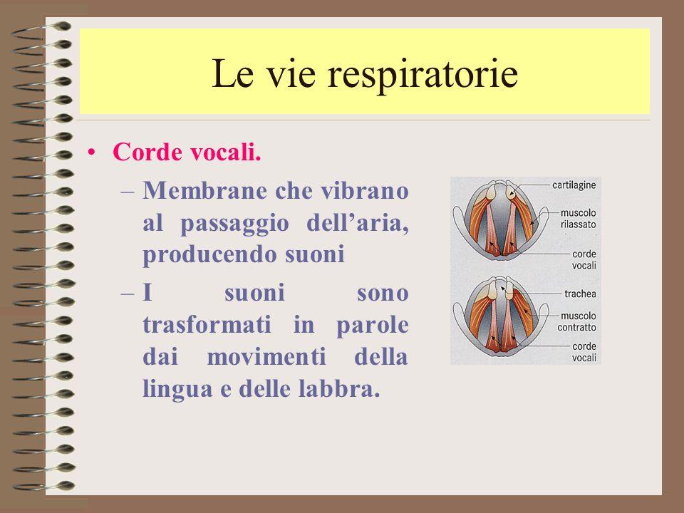 Le vie respiratorie Corde vocali. –Membrane che vibrano al passaggio dell'aria, producendo suoni –I suoni sono trasformati in parole dai movimenti del
