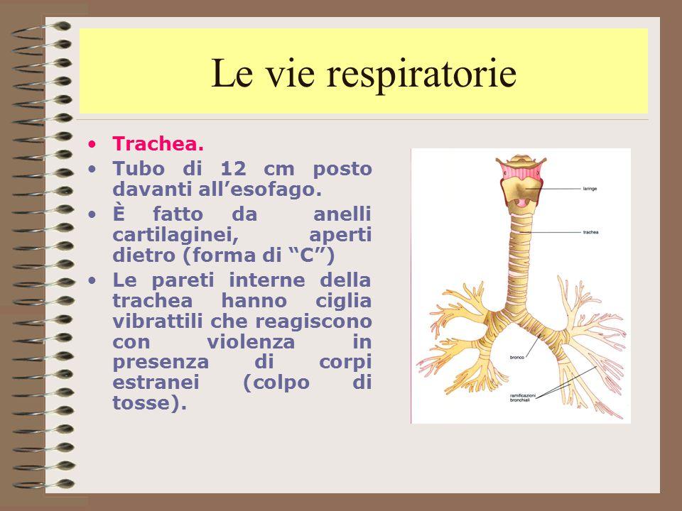 """Le vie respiratorie Trachea. Tubo di 12 cm posto davanti all'esofago. È fatto da anelli cartilaginei, aperti dietro (forma di """"C"""") Le pareti interne d"""