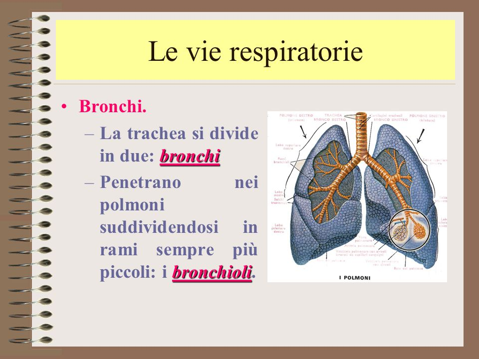 Le vie respiratorie Bronchi. bronchi –La trachea si divide in due: bronchi bronchioli –Penetrano nei polmoni suddividendosi in rami sempre più piccoli