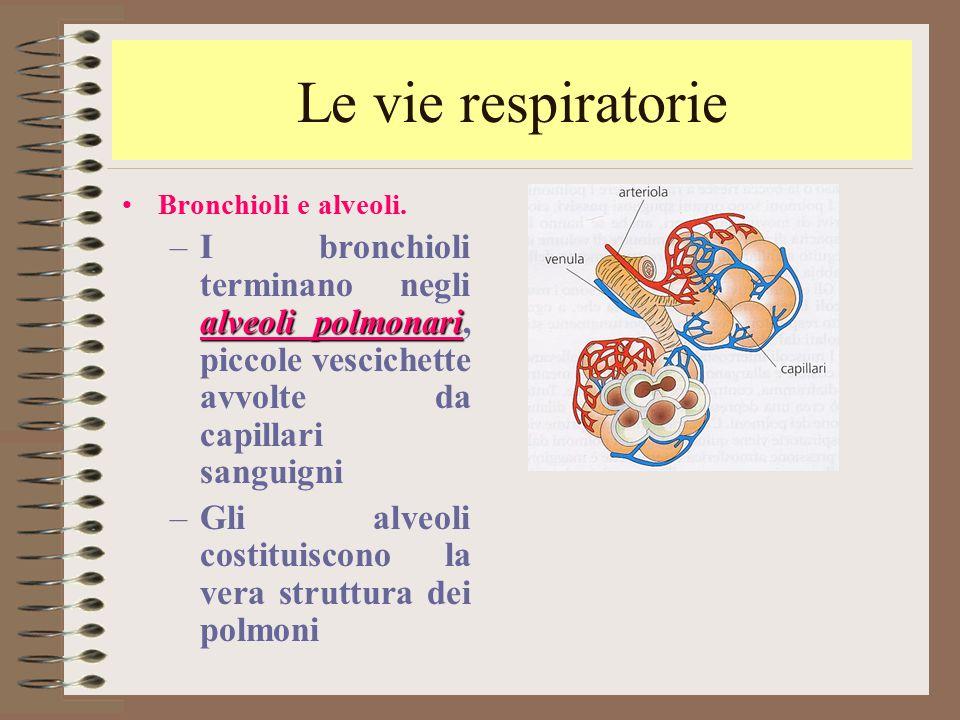 Le vie respiratorie Bronchioli e alveoli. alveoli polmonari –I bronchioli terminano negli alveoli polmonari, piccole vescichette avvolte da capillari