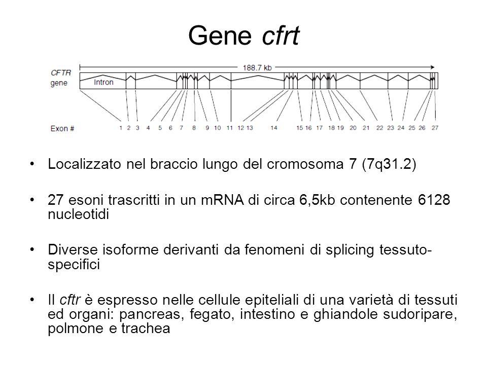Gene cfrt Localizzato nel braccio lungo del cromosoma 7 (7q31.2) 27 esoni trascritti in un mRNA di circa 6,5kb contenente 6128 nucleotidi Diverse isof