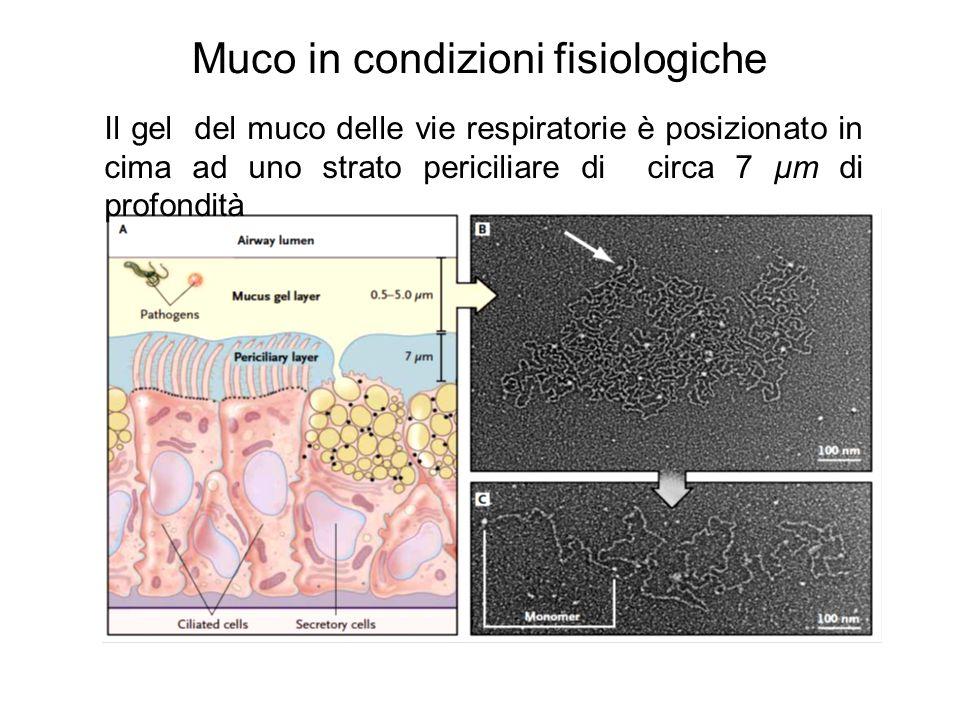 Muco in condizioni fisiologiche Il gel del muco delle vie respiratorie è posizionato in cima ad uno strato periciliare di circa 7 μm di profondità