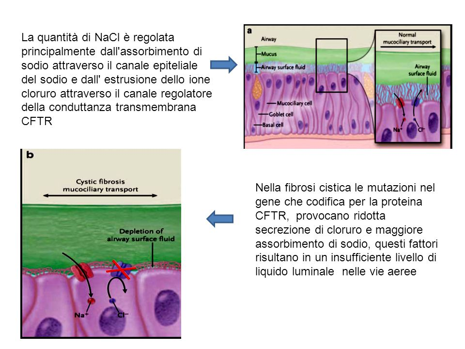 La quantità di NaCl è regolata principalmente dall'assorbimento di sodio attraverso il canale epiteliale del sodio e dall' estrusione dello ione cloru
