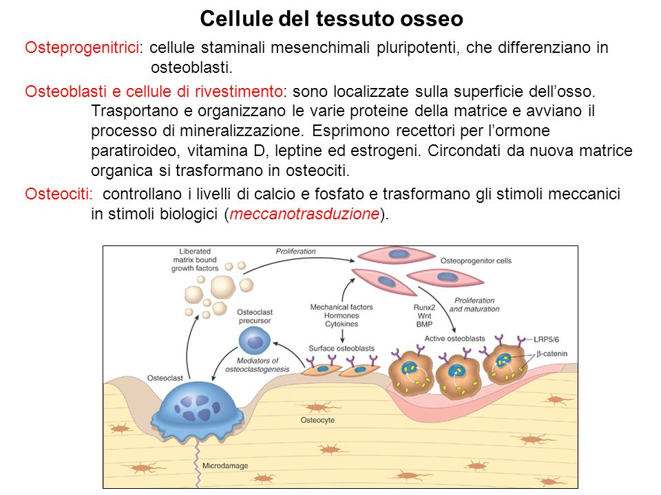 Cellule del tessuto osseo Osteprogenitrici: cellule staminali mesenchimali pluripotenti, che differenziano in osteoblasti. Osteoblasti e cellule di ri
