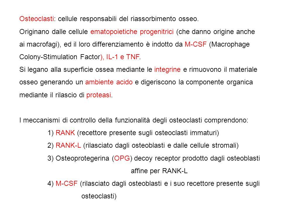Osteoclasti: cellule responsabili del riassorbimento osseo. Originano dalle cellule ematopoietiche progenitrici (che danno origine anche ai macrofagi)