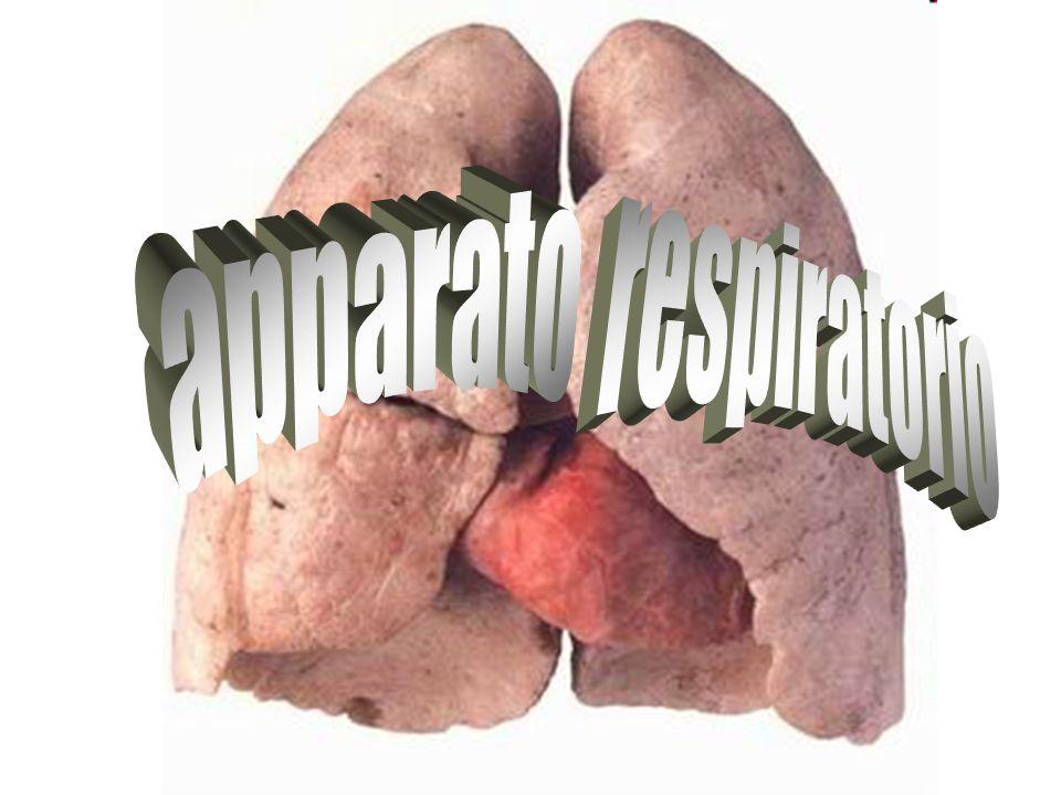 Il sistema respiratorio è costituito dall insieme degli organi che provvedono allo scambio di gas fra l organismo e l ambiente esterno, con l introduzione dell ossigeno e l espulsione dell anidride carbonica.