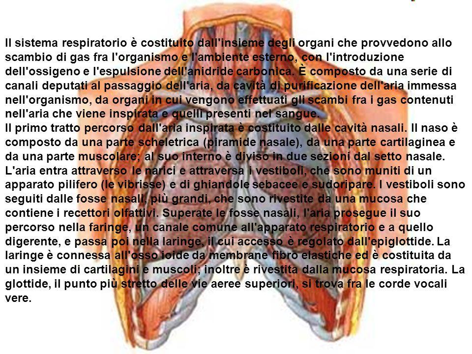 Il sistema respiratorio è costituito dall'insieme degli organi che provvedono allo scambio di gas fra l'organismo e l'ambiente esterno, con l'introduz