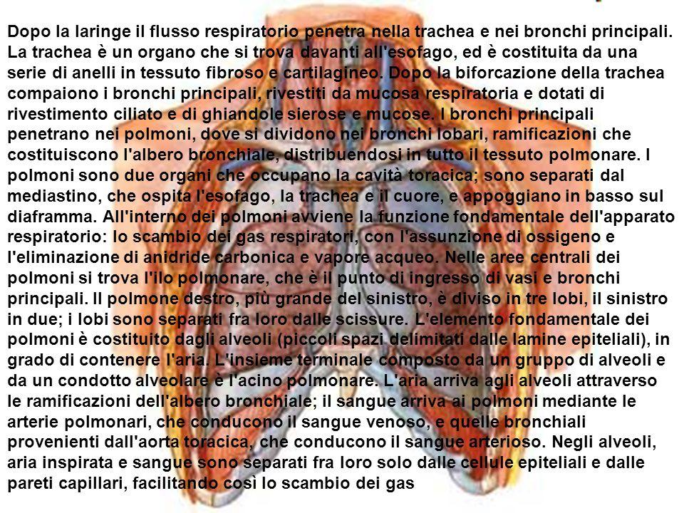 Dopo la laringe il flusso respiratorio penetra nella trachea e nei bronchi principali. La trachea è un organo che si trova davanti all'esofago, ed è c