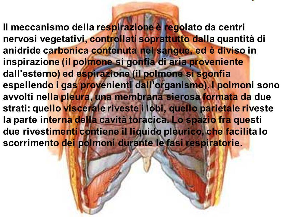 Il meccanismo della respirazione è regolato da centri nervosi vegetativi, controllati soprattutto dalla quantità di anidride carbonica contenuta nel s