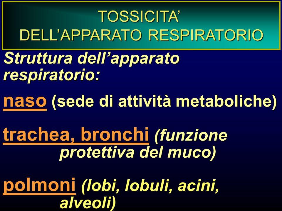 TOSSICITA' DELL'APPARATO RESPIRATORIO Struttura dell'apparato respiratorio: naso (sede di attività metaboliche) trachea, bronchi (funzione protettiva