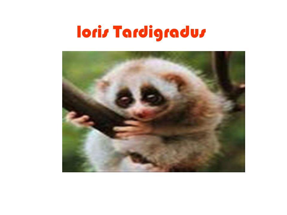 loris Tardigradus