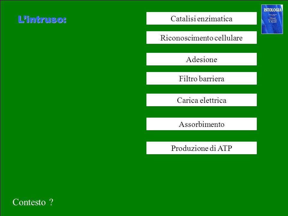 L'intruso: Catalisi enzimatica Riconoscimento cellulare Adesione Filtro barriera Assorbimento Produzione di ATP Carica elettrica Contesto ?