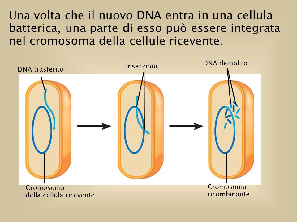 Una volta che il nuovo DNA entra in una cellula batterica, una parte di esso può essere integrata nel cromosoma della cellule ricevente.