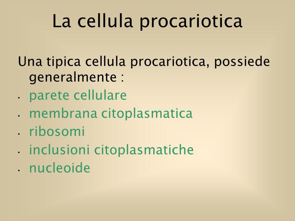 La cellula procariotica Una tipica cellula procariotica, possiede generalmente : parete cellulare membrana citoplasmatica ribosomi inclusioni citoplasmatiche nucleoide