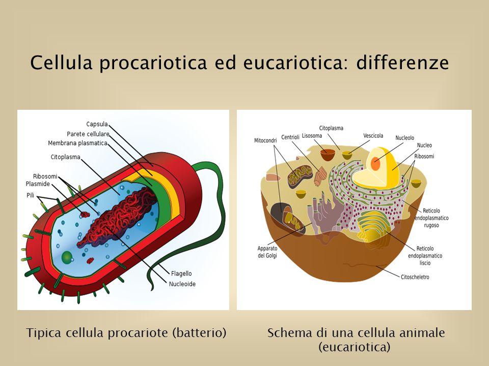 Cellula procariotica ed eucariotica: differenze Tipica cellula procariote (batterio) Schema di una cellula animale (eucariotica)