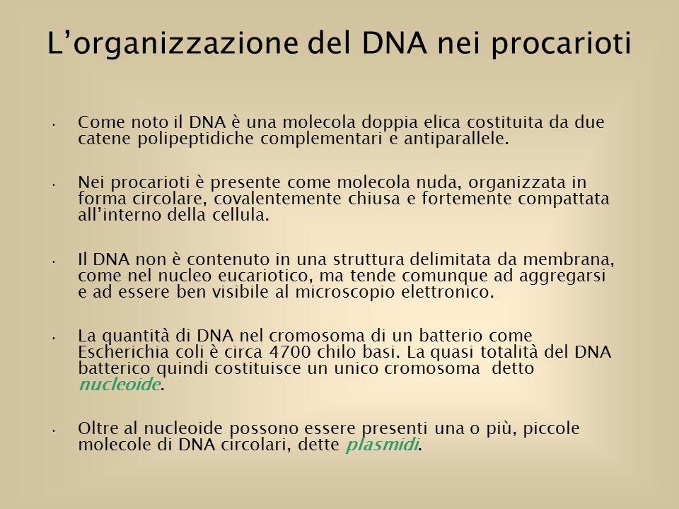 L'organizzazione del DNA nei procarioti Come noto il DNA è una molecola doppia elica costituita da due catene polipeptidiche complementari e antiparallele.