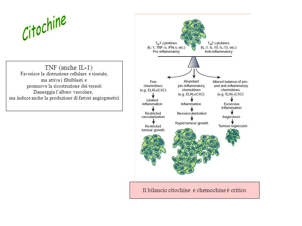 Il bilancio citochine e chemochine è critico TNF (anche IL-1) Favorisce la distruzione cellulare e tisutale, ma attiva i fibriblasti e promuove la ricostruzione dei tessuti Danneggia l'albero vascolare, ma induce anche la produzione di fattori angiogenetici